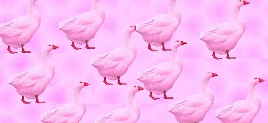 Смысл песни Розовый гусь смотрит в окно
