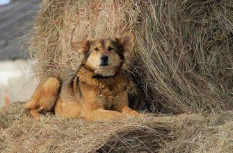 """Что означает выражение """"Собака на сене"""""""