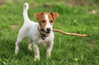 Как называется порода собаки из фильма «Маска»