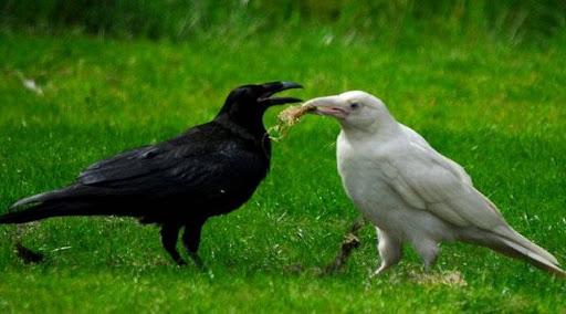 Что означает фразеологизм «Белая ворона»