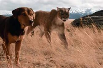 Как называется фильм про пумы и собаку - основа сюжета
